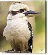 Kookaburra Acrylic Print