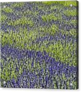 Lavendar Field Rows Of White And Purple Flowers Acrylic Print