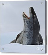 Leopard Seal Acrylic Print