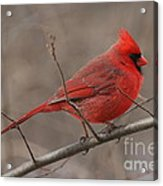Male Northern Cardinal Acrylic Print