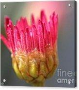 Marguerite Daisy Named Summer Song Rose Acrylic Print
