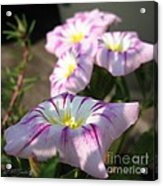 Morning Glory Named Pink Ensign Acrylic Print