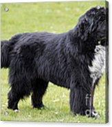 Newfoundland Dog Acrylic Print