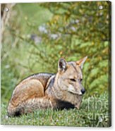 Patagonian Red Fox Acrylic Print
