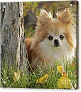 Pomeranian Dog Acrylic Print