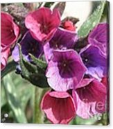 Pulmonaria Named Raspberry Splash Acrylic Print