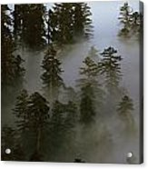 Redwood Creek Overlook With Giant Redwoods Sticking Out Above Lo Acrylic Print