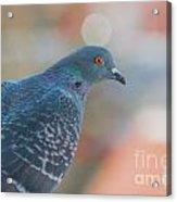 Rock Dove Acrylic Print