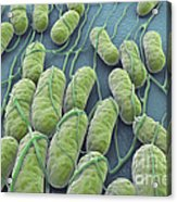 Salmonella Bacteria Acrylic Print