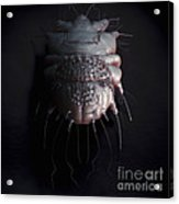 Scabies Mite Acrylic Print