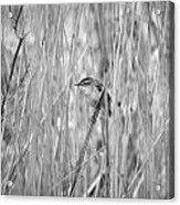 Sedge Warbler Acrylic Print