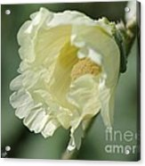 Single Buttercream Hollyhock Acrylic Print