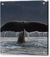 Sperm Whale Tail New Zealand Acrylic Print