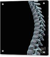 Spinal Anatomy Acrylic Print