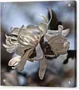 Spring April 2013 Magnolia Blossoms Acrylic Print