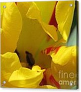 Triumph Tulip Named Washington Acrylic Print