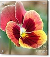 Viola Named Penny Red Blotch Acrylic Print