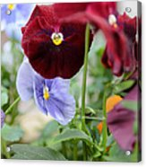 Viola Tricolor Heartsease Acrylic Print