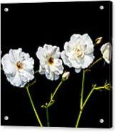 5 White Roses On Black Acrylic Print