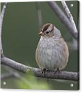 Whitecrowned Sparrow Acrylic Print