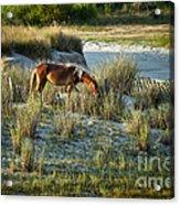 Wild Spanish Mustang Acrylic Print
