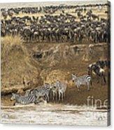 Wildebeests Crossing Mara River, Kenya Acrylic Print