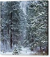 Winter In Pike National Forest Acrylic Print