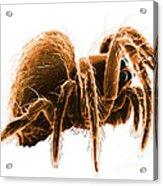 Wolf Spider Acrylic Print
