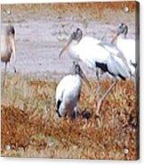 Wood Storks Acrylic Print