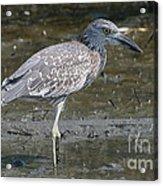 Yellow-crowned Night Heron Acrylic Print
