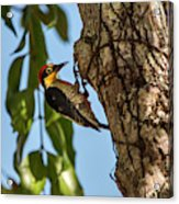 Yellow-fronted Woodpecker  Melanerpes Acrylic Print