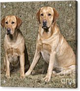Yellow Labrador Retrievers Acrylic Print