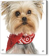 Yorkshire Terrier Dog Acrylic Print