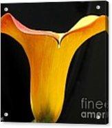 Zantedeschia Named Flame Acrylic Print