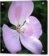 Zonal Geranium Named Tango Light Orchid Acrylic Print