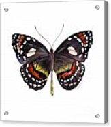 50 Elzunia Bonplandii Butterfly Acrylic Print