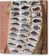 50 Fish From American Waters Acrylic Print by Georgia Fowler