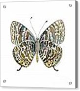 51 Lang's Short-tailed Blue Butterfly Acrylic Print