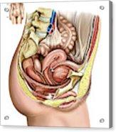 Female Genital System Acrylic Print