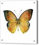 53 Leucippe Detanii Butterfly Acrylic Print