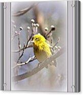 5393-006 - Pine Warbler-fb Acrylic Print