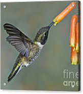Black-chinned Hummingbird Acrylic Print