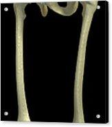 Bones Of The Upper Legs Acrylic Print
