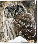 Boreal Owl Pictures Acrylic Print