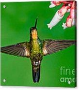 Buff-winged Starfrontlet Acrylic Print