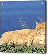 Cat In Hydra Island Acrylic Print