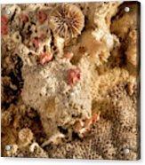 Cheilostomata Bryozoan Acrylic Print