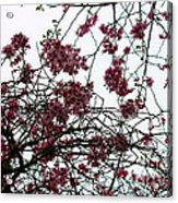 Cherry Blossoms In The Sky Acrylic Print