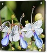 Clerodendrum Ugandense Or Blue Butterfly Bush Acrylic Print