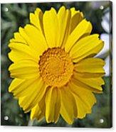 Crown Daisy Flower Acrylic Print